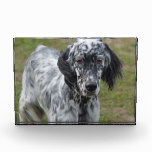 Adorable Black and White English Setter Award