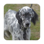 Adorable Black and White English Setter Coaster