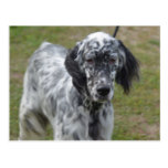 Adorable Black and White English Setter Dog Postcard