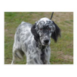 Adorable Black and White English Setter Postcard
