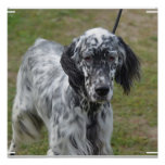Adorable Black and White English Setter Poster
