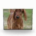 Adorable Irish Setter Acrylic Award