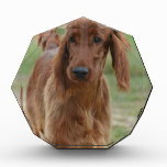 Adorable Irish Setter Award