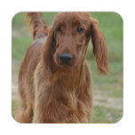 Adorable Irish Setter Coaster