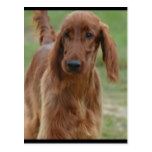 Adorable Irish Setter Postcard