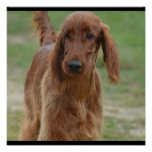 Adorable Irish Setter Poster