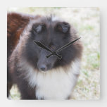 Adorable Sheltie Square Wall Clock