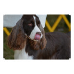Adorable Springer Spanial Poster