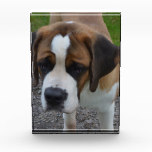 Adorable St Bernard Award