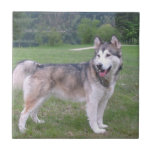 Alaskan Malamute Dog Tile