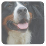 Baby  Bernese Mountain Dog Square Paper Coaster