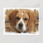 Beagle Pictures Postcard