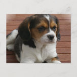 Beagle Puppy Dog Postcard