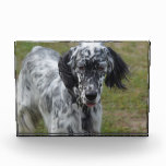 Beautiful English Setter Dog Award