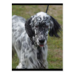 Beautiful English Setter Dog Postcard