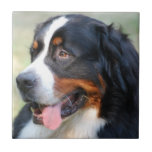 Bernese Mountain Puppy Tile
