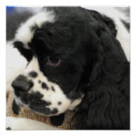 Black and White Cocker Spaniel Poster