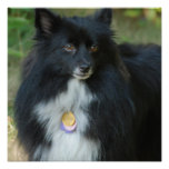 Black and White Pomeranian Poster
