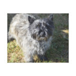 Black Cairn Terrier Canvas Print