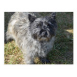 Black Cairn Terrier Postcard