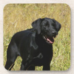 Black Lab in Field  Coasters