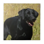 Black Lab in Field Tile