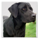 Black Labrador Retriever  Dog Poster Print