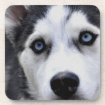 Blue Eyed Husky Set of Six Coasters
