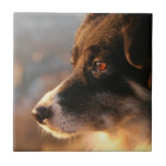Border Collie Photos Tile
