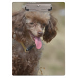 Brown Toy Poodle Clipboard