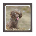 Brown Toy Poodle Gift Box