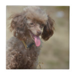 Brown Toy Poodle Tile