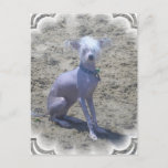 Chinese Crested Dog Postcard