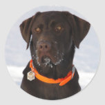 Chocolate Labrador Sticker