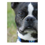 Classic Boston Terrier Dog Postcard
