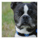 Classic Boston Terrier Dog Poster