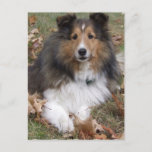 Collie Dog Postcard