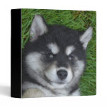 Cute Alusky Puppy Dog on His Back 3 Ring Binder