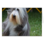 Cute Bearded Collie