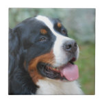 Cute Bernese Tile