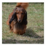 Cute Long Haired Daschund Poster
