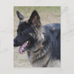 Cute Shiloh Shepherd Postcard