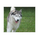 Cute Siberian Husky Canvas Print