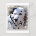 Dalmatian Fire Dog Postcard