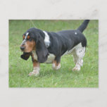Dark Basset Hound Dog Postcard