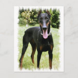Doberman Pinscher Dog  Postcard
