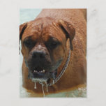 Drooling Bordeaux Mastiff Postcard