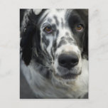 English Setter Dog Postcard