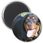 Friendly Rottweiler Magnet