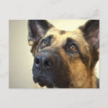 German Shepherd Picture Postcard